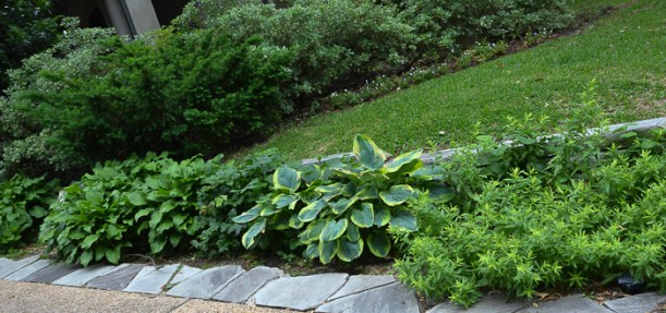 Hostas in Texas
