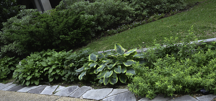 Hostas in Texas - Dallas Landscaping and Gardening Lee Ann Torrans