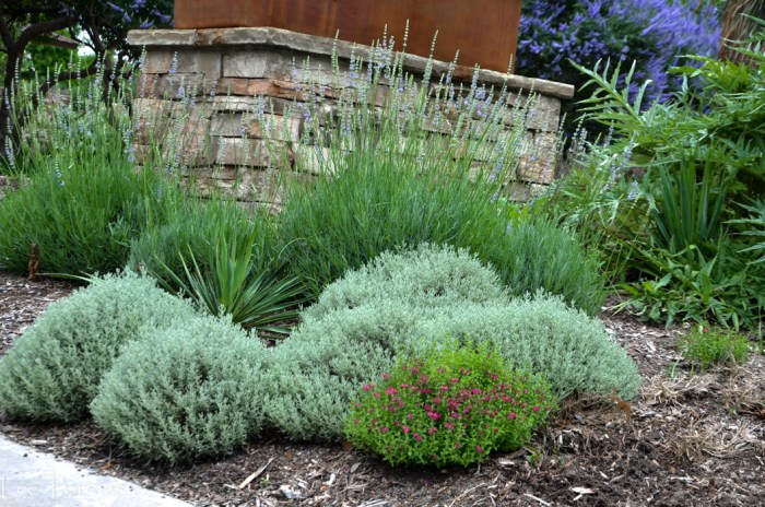 Santolina and native grasses in perennial garden