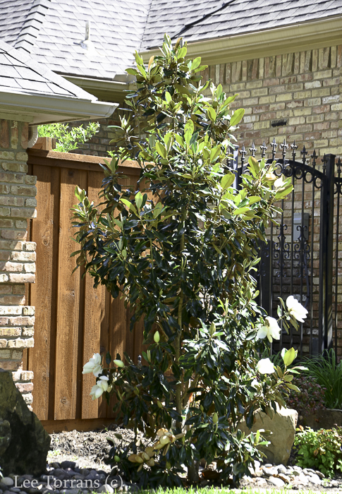 Little Gem Southern Magnolia