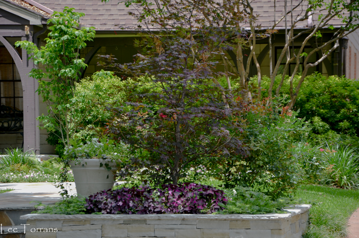 Spreading Yew with Purple Shamrock shaded by a young Japanese Maple.