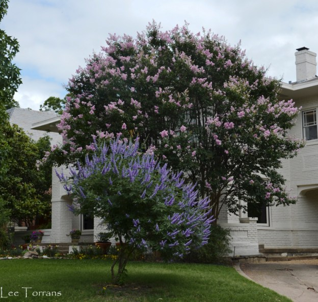 Pink_Crape_Myrtle_Vitex_Tree_Landscaping_Dallas_Texas_Lee_Ann_Torrans