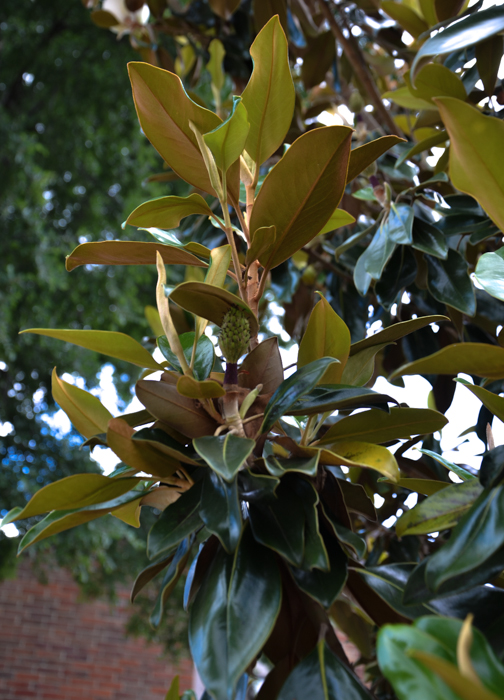 Golden Underleaf of the Teddy Bear Magnolia