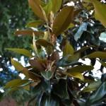 Golden Underleaf of the Teddy Bear Magnolia