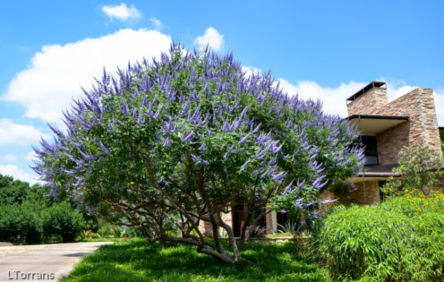 Texas Lilac Vitex Tree
