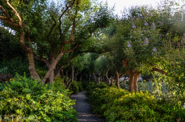 Texas Vitex Tree Grove