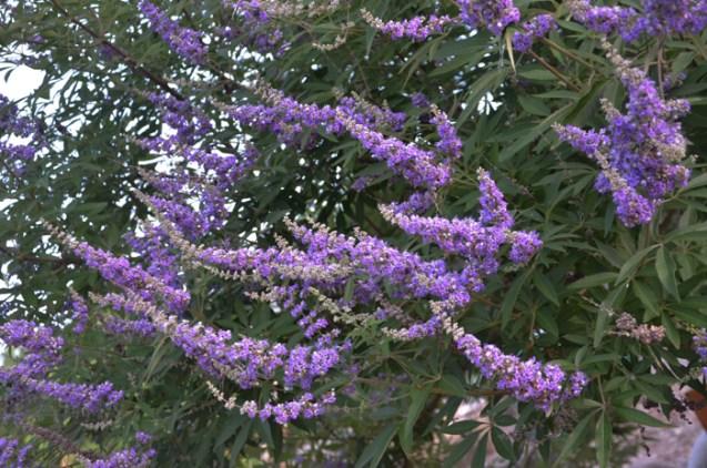 Vitex_Tree_Purple_Flower_Spikes_Texas_Lee_Ann_TOrrans-3