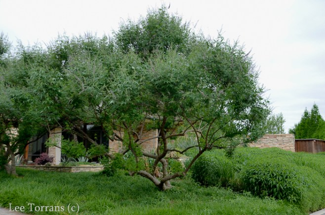 Vitex_Tree_Texas_Lee_Ann_Torrans-2