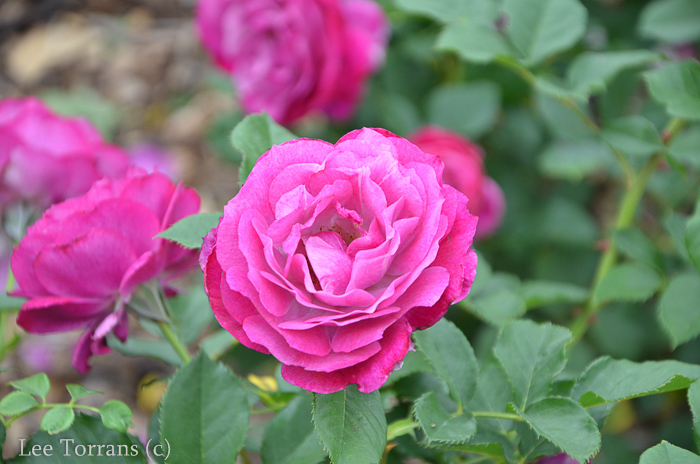 Wild_Blue_Yonder_Grandiflora_Rose_Texas_Lee_Ann_Torrans-3
