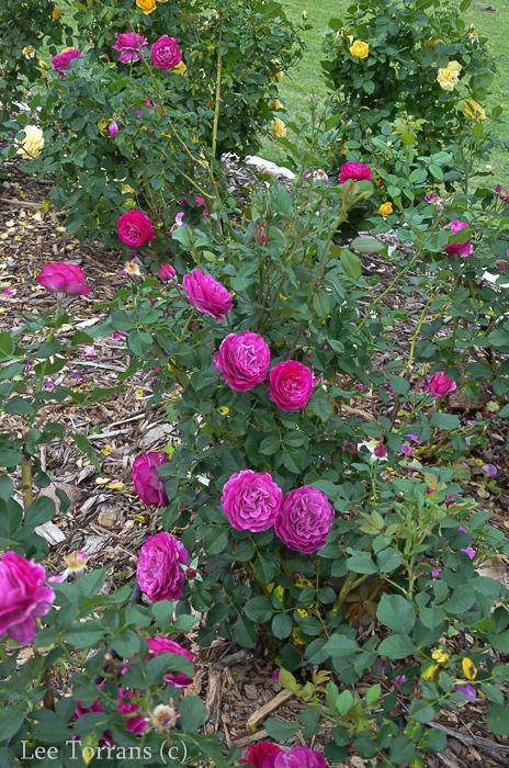 Wild_Blue_Yonder_Grandiflora_Rose_Texas_Lee_Ann_Torrans-4