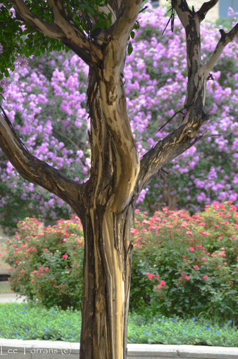 Crape Myrtles The Top Performers Lee Ann Torrans Gardening