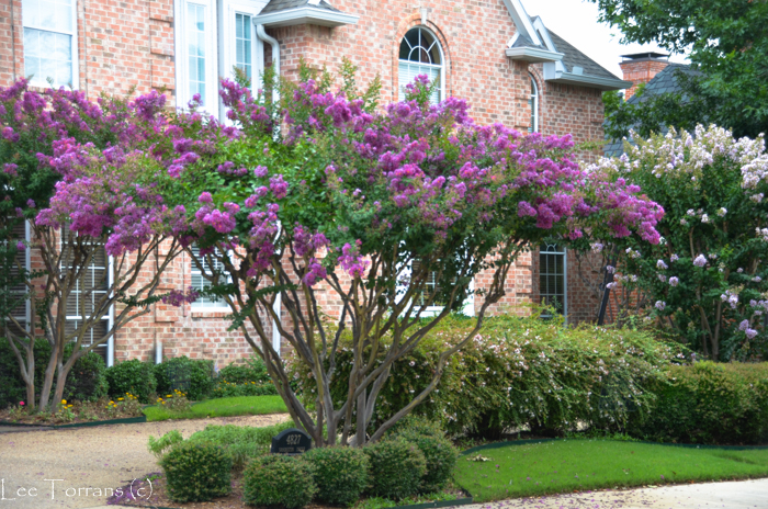 The beautiful Zuni crape myrtle reaches ten to twelve feet in Texas with the deep almost crayola colored purple.