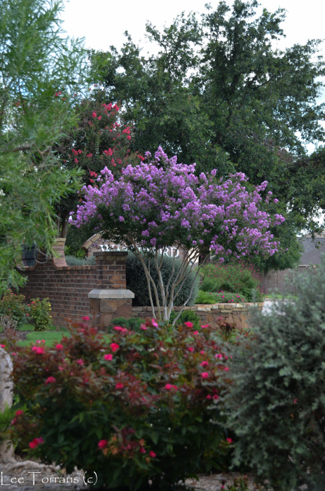 This Zuni purple crape myrtle blends beautiful with Knockout roses and their scarlet color.
