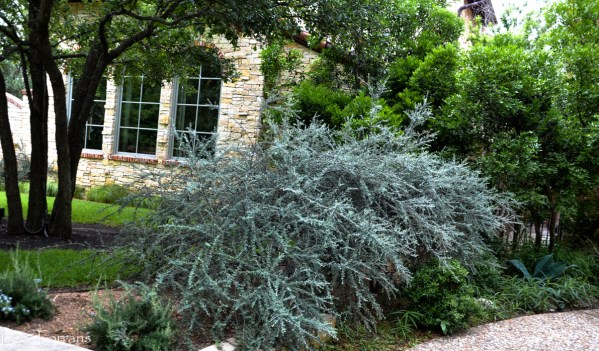 Cotoneaster - Gray spikey shrub for Texas