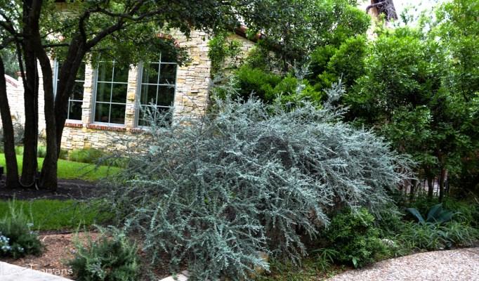 Cotoneaster - Gray spikey shrub for Texas