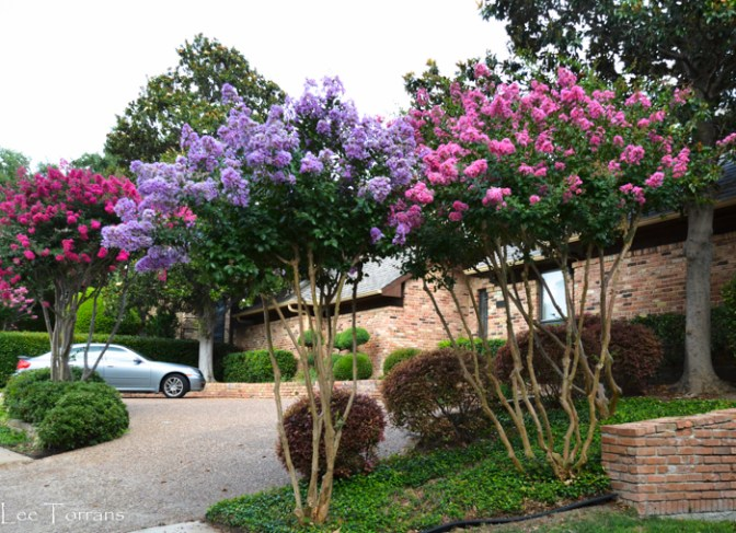 Crape_Myrtles_Texas_Lee_Ann_Torrans_Dallas_Gardening