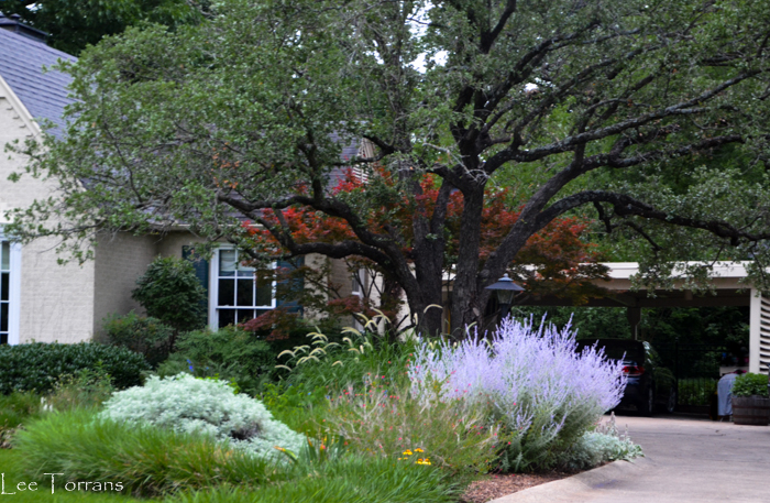 Japanese Maple Compliment To Perennial Garden.  June_Perennial_Garden_Dallas_Texas_Lee_Ann_Torrans