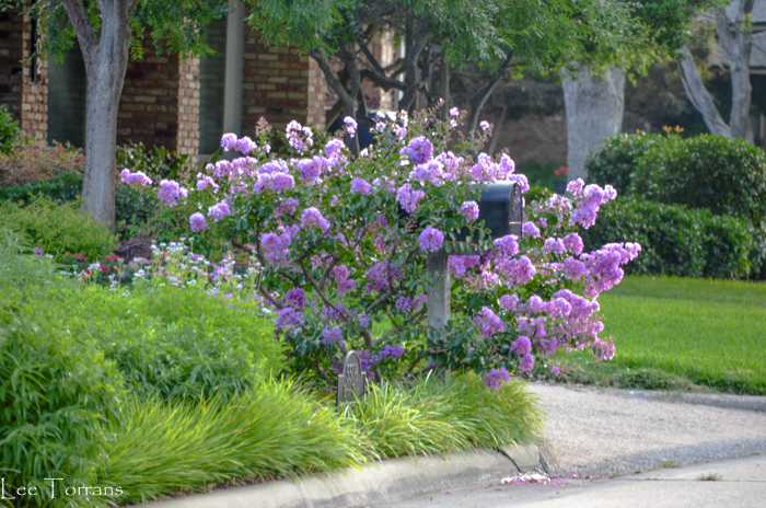 Purple Miniature Crape Myrtle