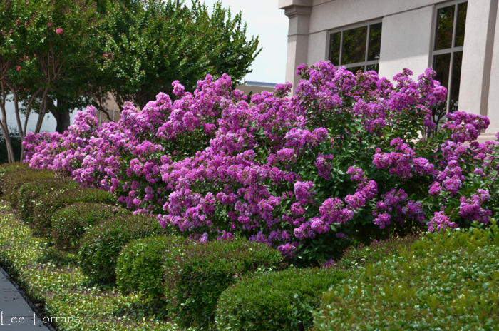 Miniature_Purple_Crape_Myrtle_Texas_Lee_Ann_Torrans_Dallas_Gardening-5
