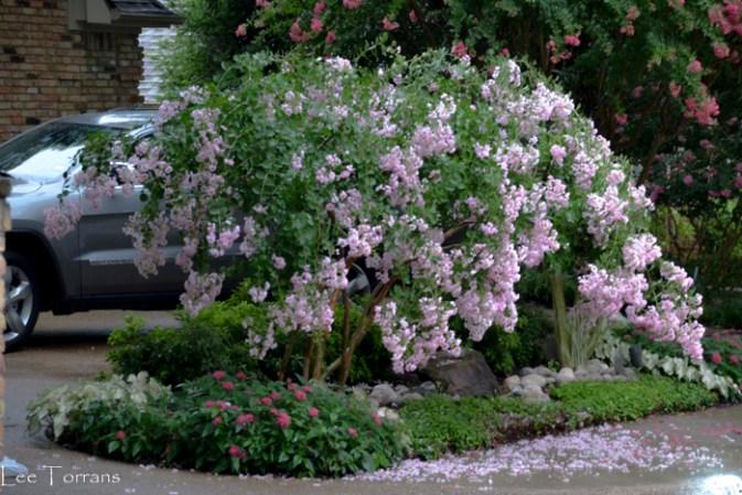 Pale_Pink_Dwarf_Weeping_Crape_Myrtle_Lee_Ann_Torrans_Dallas_Gardening