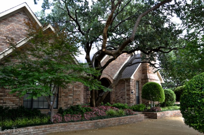 Dallas Trees Live Oak