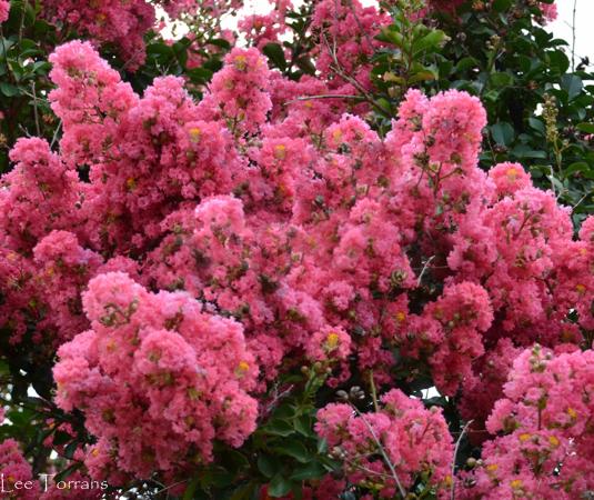 Tuscarora Crape Myrtle Coral Color