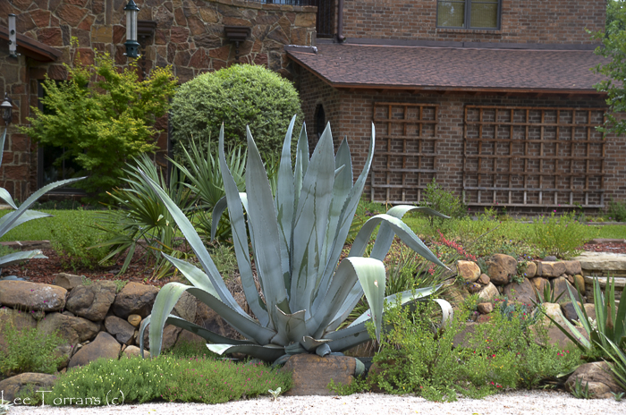 Agave Century Plant in Texas