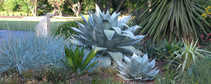 Whales Tooth Agave