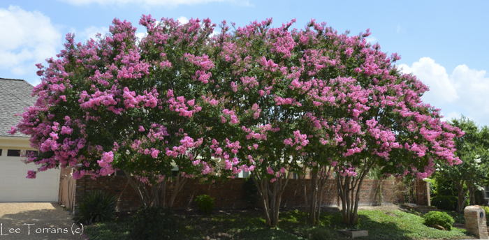 Choctaw Hedge Crape Myrtles