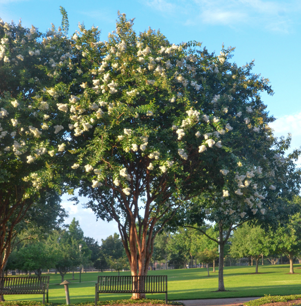 A beautiful fow of Natchez White Crape Myrtles. This row of mature white crape myrtles represents the distance you may chose to plant your crape myrtles from one another. If you want to enjoy the full umbrella arching canopy this may be too close.