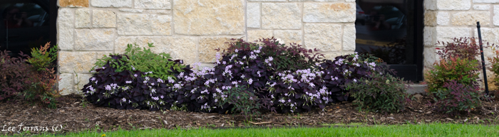 Purple Shamrock in April in Dallas Landscape Design