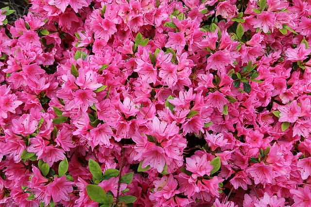 Azaleas to cats and dogs. Azaleas contain grayanotoxins which disrupt sodium channels affecting the skeletal and cardiac muscle. All parts of the plant are considered poisonous, and as little as ingestion of 0.2% of an animal's body weight can result in poisoning. When ingested, clinical signs include gastrointestinal signs (e.g., drooling, vomiting, diarrhea, abdominal pain, inappetance), cardiovascular (e.g., abnormal heart rate, heart arrhythmias, weakness, hypotension), and central nervous system signs (e.g., depression, tremors, transient blindness, seizures, coma, etc.). The overall prognosis is fair with treatment.