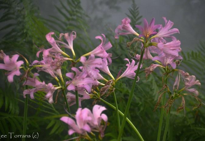 Lilies-Texas_Arboretum_Lee_Ann_Torrans