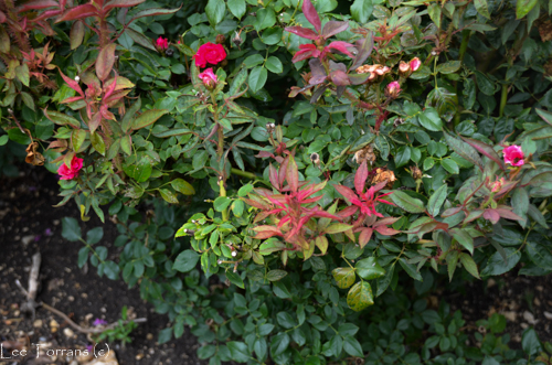 RRD Knock Out rose disease contain microscopic mites