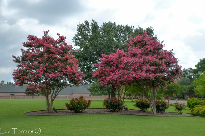 Tuskegee Crape Myrtle - In My Top Three