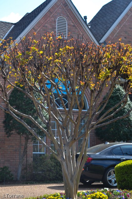 Pruning a Crape Myrtle Correctly.