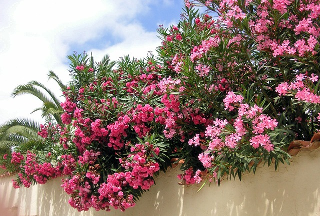 Oleander Shrubs Considered to Be Poisonous
