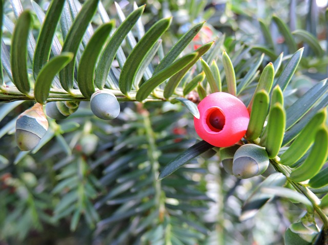 Poisonous Yew Berries