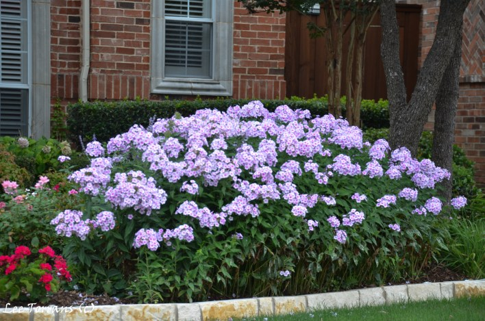 Purple / Lavender Summer Phlox in Dallas Landscaping does well in Texas. Blooms June to August. Good blooming companion for Crape Myrtles.