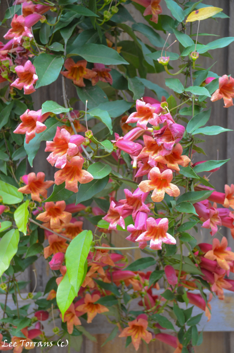 Cross Vine Texas Trumpet Vine Family
