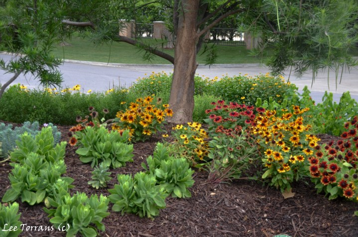 Cone flowers and sedum in the front. That is myrtle spurge to the lift, and rudbekia just on the hills ridge to the far right in the rear you can see Monks Cap beginning to bloom. Colorful native plants for Texas landscaping design planted under a Dessert Willow tree.