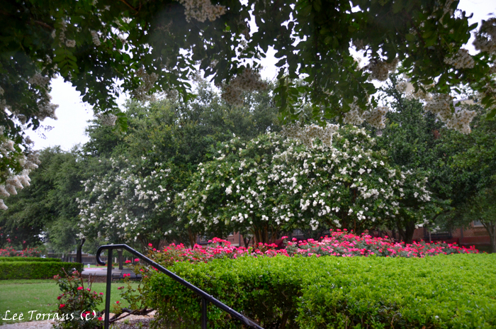 Natchez white crape myrtle in the rain with Knockout Roses