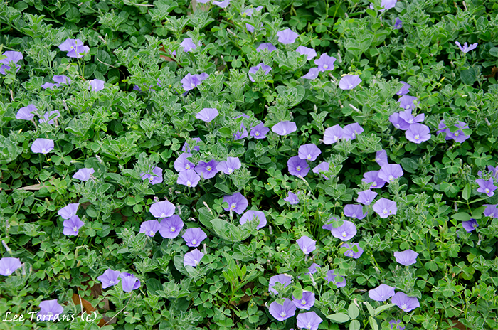 Hardy Morning Glory a ground cover