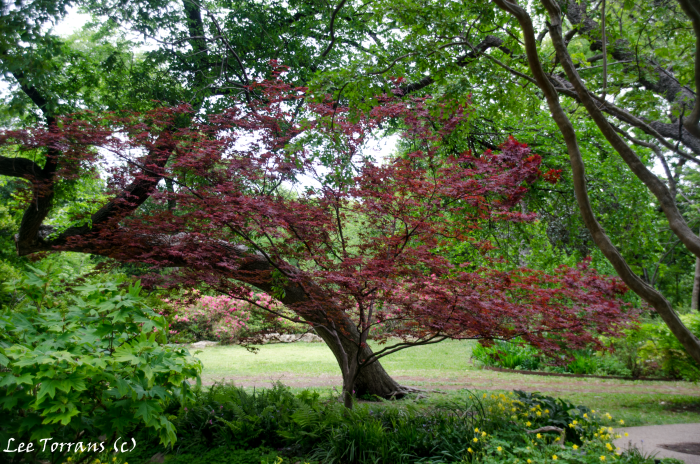 Japanese Maple in Texas Landscape Design fundamental element in Texas