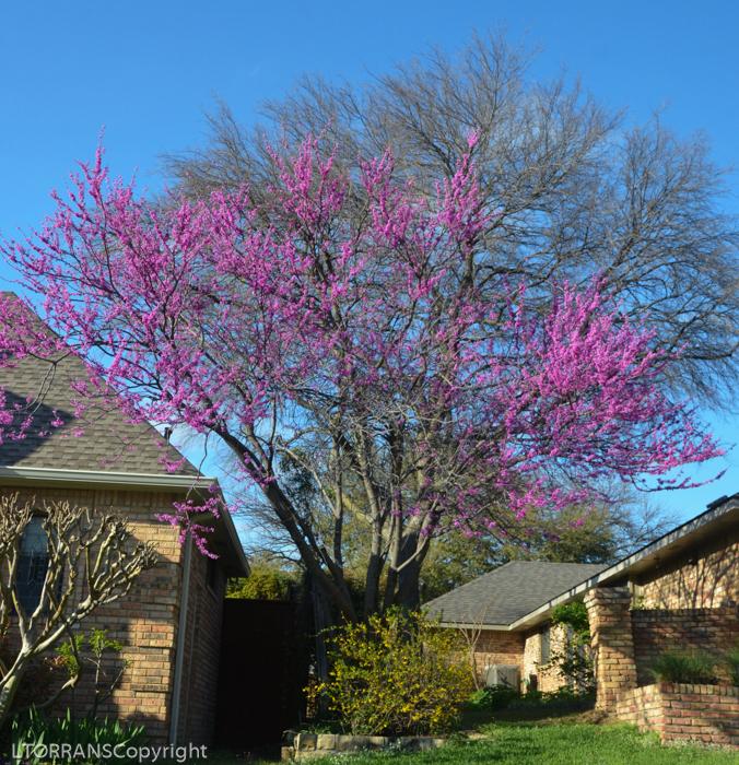 Oklahoma Redbud tree with Forsythia Mid-March Texas