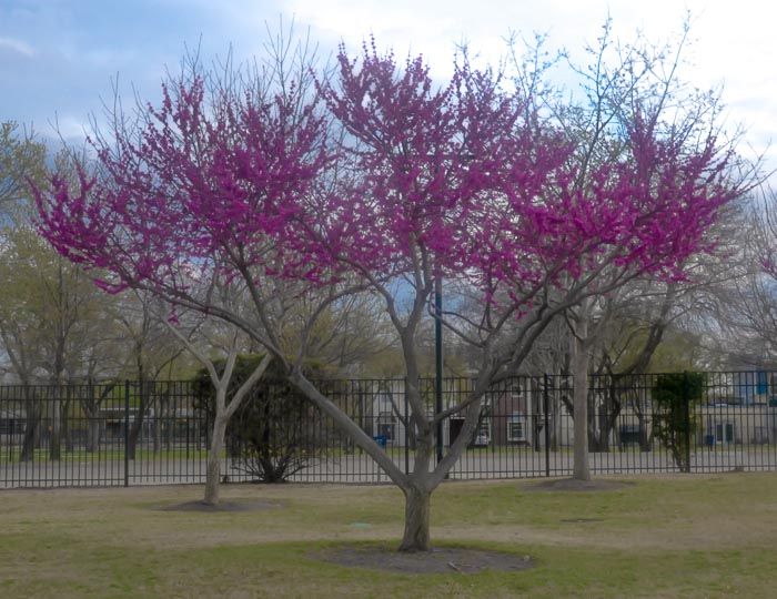 Oklahoma Redbud Tree Mid-March Dallas
