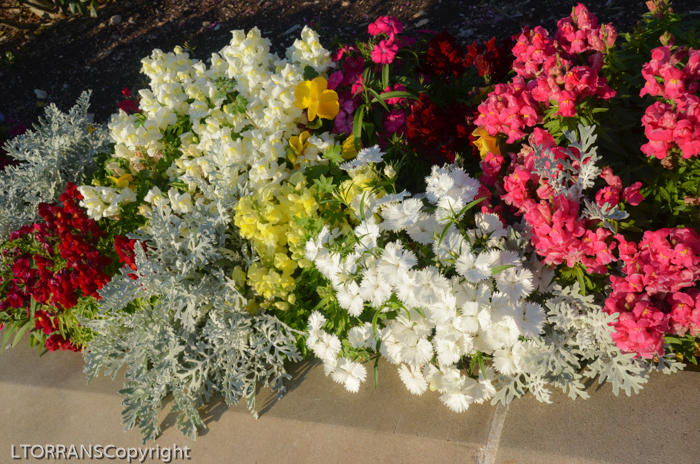 Dianthus with Snapdragons and Dusty Miller