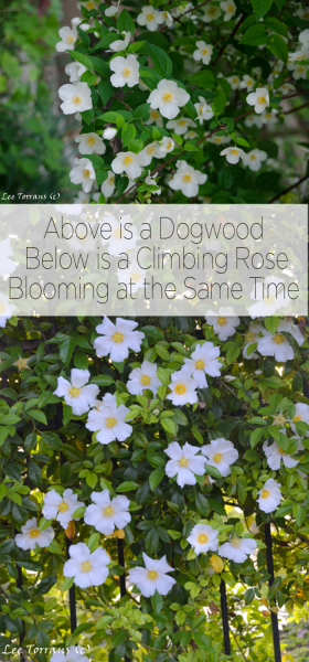 Dogwood and Climbing Rose blooming at the same time