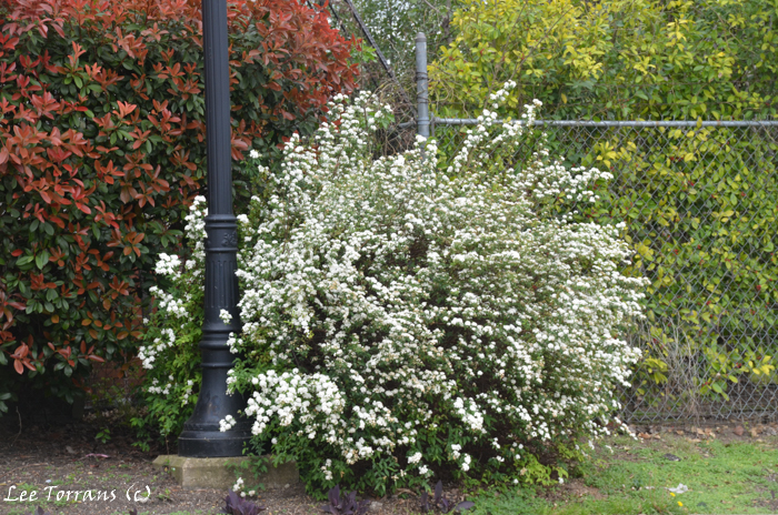 Spirea White Flowering Shrub
