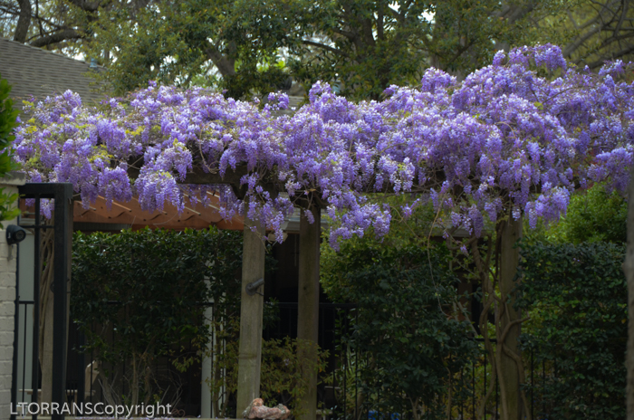 Purple Lilac Wisteria